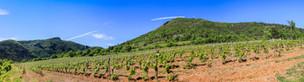 Panorama d'une vigne au printemps