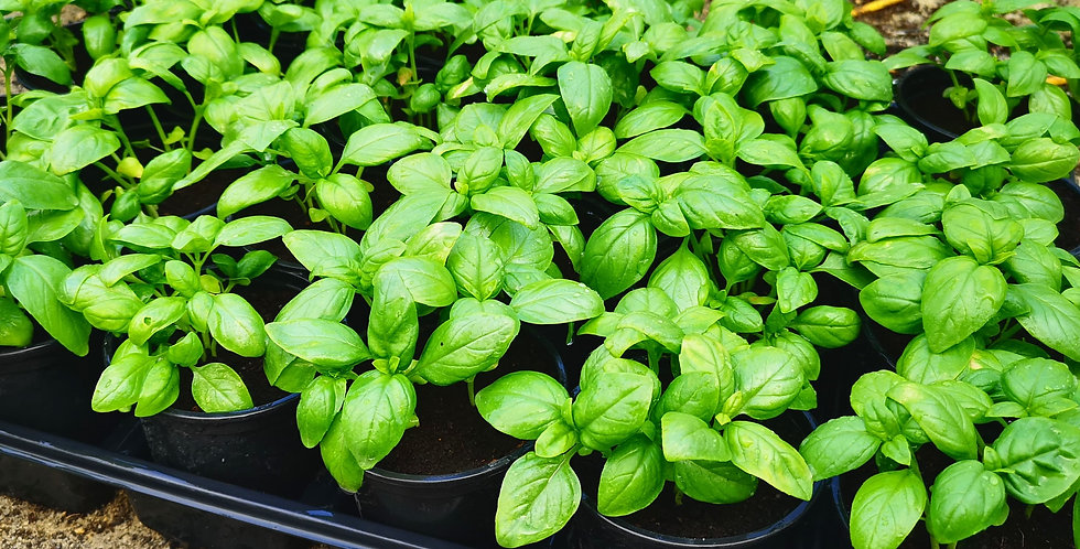 Organic Basil Plant