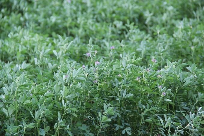 alfalfa_crop2_large