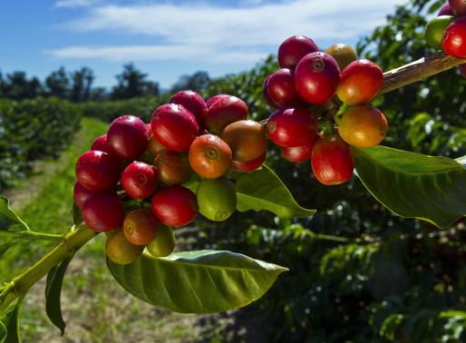 Влажность кофейных зёрен - чрезвычайно важный параметр
