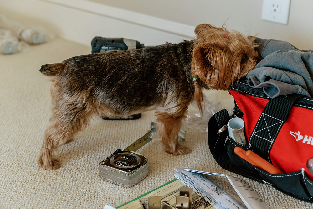 A small, overweight Yorkshire terrier with a braid puts her nose into a sweatshirt, which is stuffed in a bright red tool bag that sits on the cream-colored carpet among scatter tools.