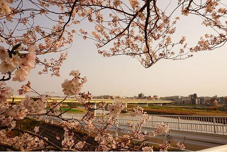sakura_train.JPG