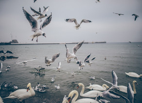 Birds as sentinels for EDC's pollution of the Southern Baltic Sea - new approach