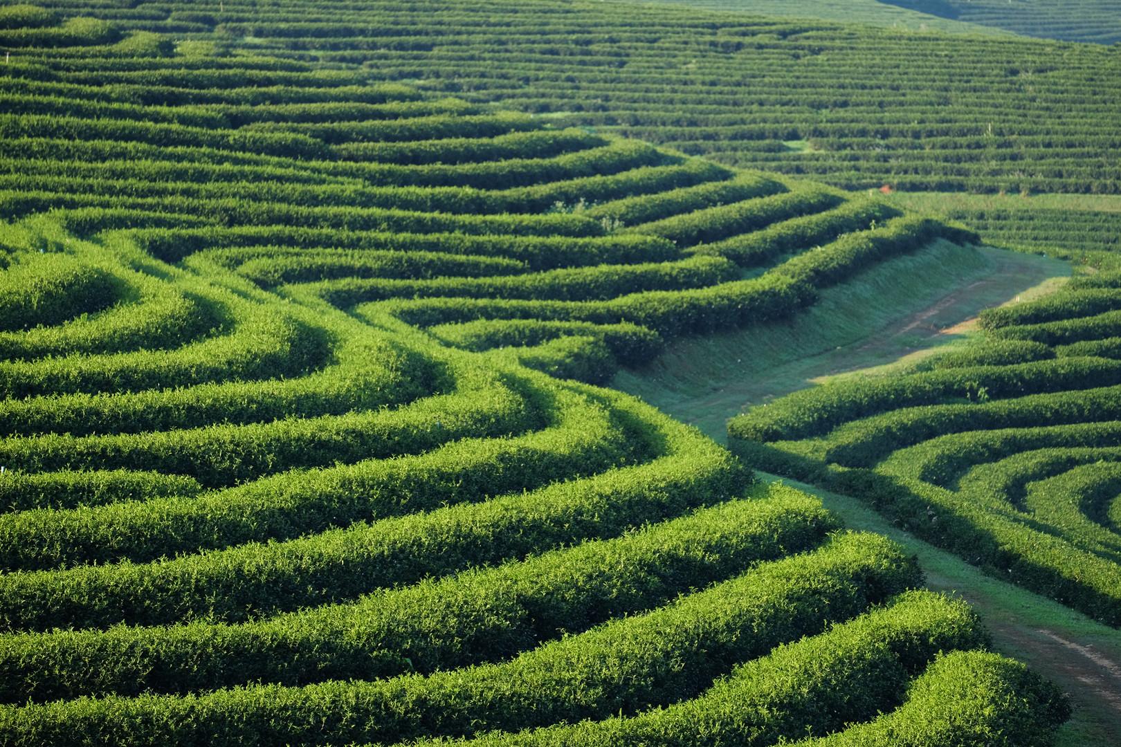 tea-plantation-P37CL4E.jpg