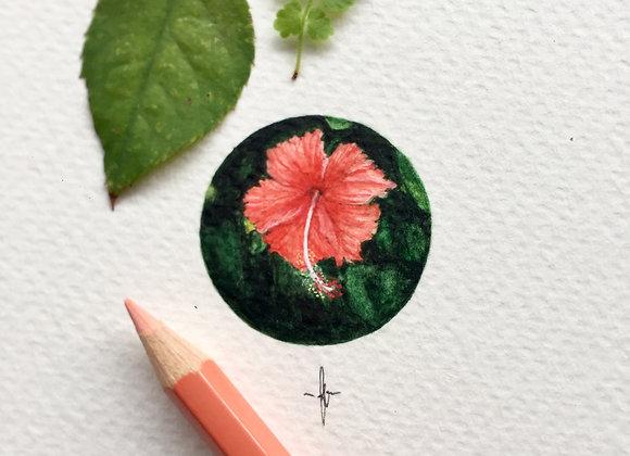 Hibiscus rosa-sinesis