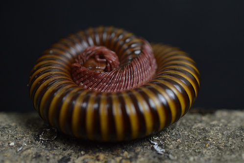 Spirostreptidae sp Togo