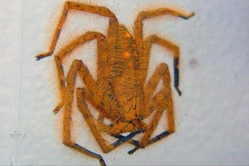 Heteropoda davidbowie Moyen/Grande
