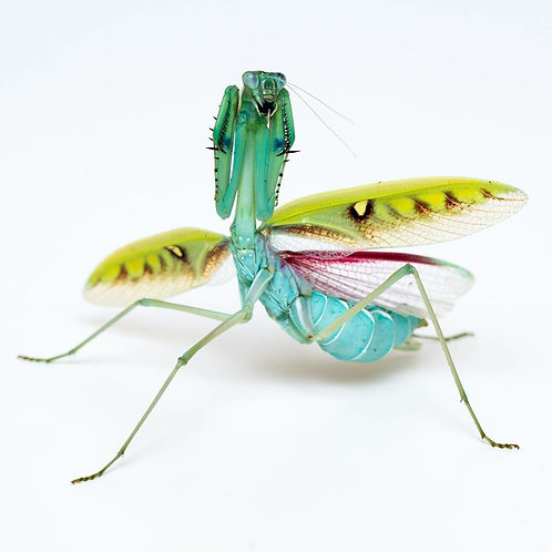"Omomantis zebrata ""couple"""