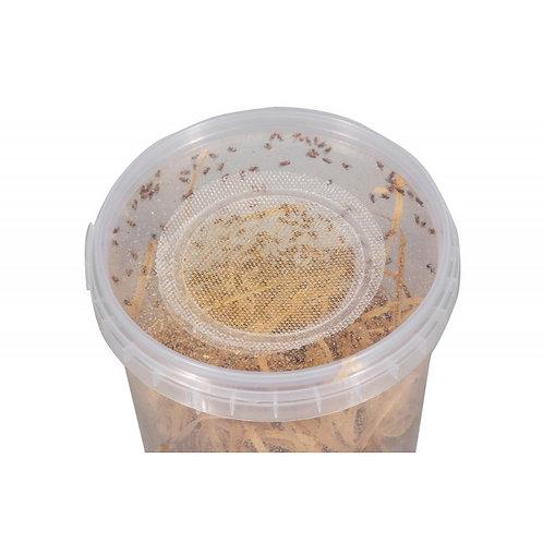 Souche Drosophila melanogaster