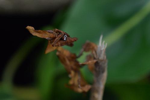 """Phyllocrania paradoxa """"couple"""""""