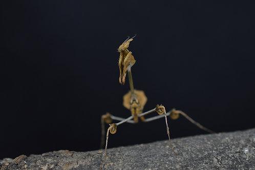 Gongylus gongylodes femelle