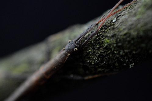 Pseudophasma scabriusculum