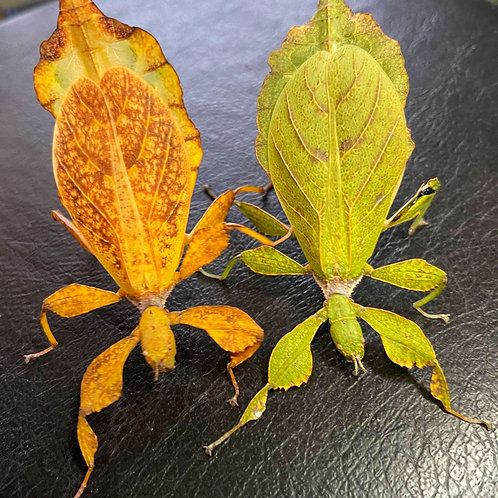 "Phyllium tobeloense Galela ""couple"""