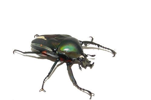 Dicronorhina conradsi