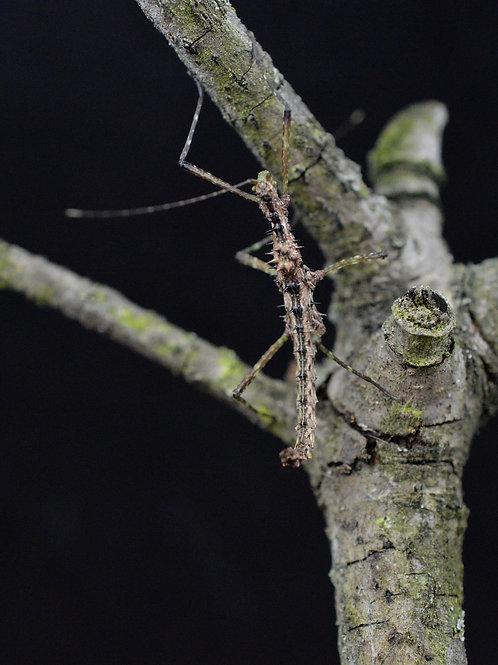 Andropromachus scutatus (unité/couple)