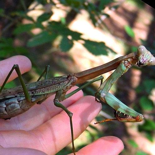 Plistospilota guineensis ''couple''