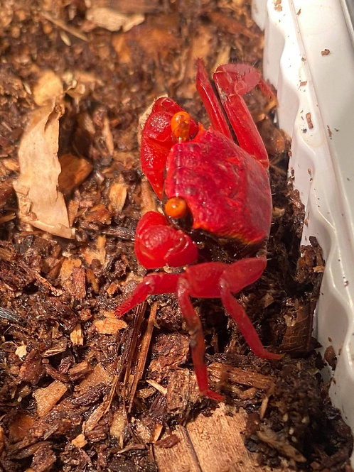 "Geosesarma sp ""Red rubby"""