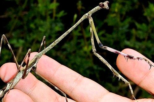 "Euchomenella heteroptera ""couple"""