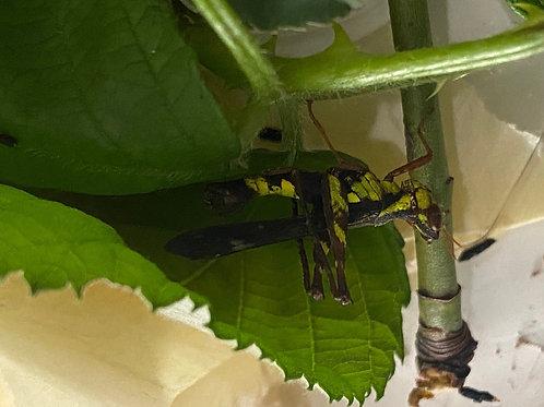 Erianthus versicolor