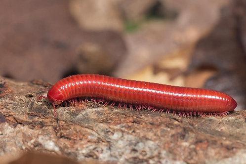 Couple Centrobolus sp. Mozambique ''hypo''