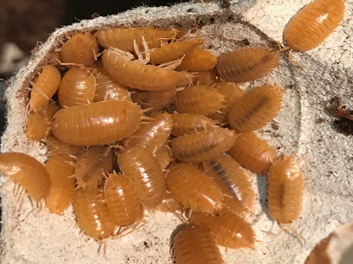 "Porcellio laevis ""Orange"" x10"