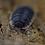 Thumbnail: Trachelipus caucasius X5