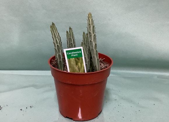 "4"" Candlestick Plant"
