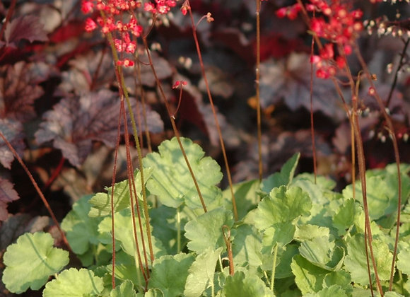 Coral Bells - Firefly
