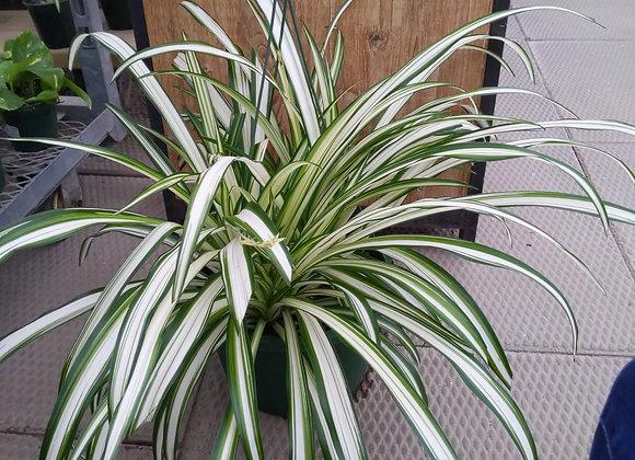 Spider Plant - Hanging Basket
