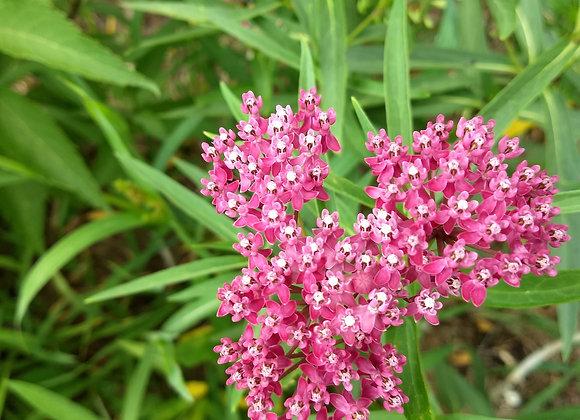 Butterfly Bush/Milkweed