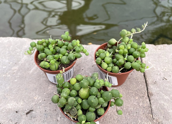 Assorted String Of Pearls