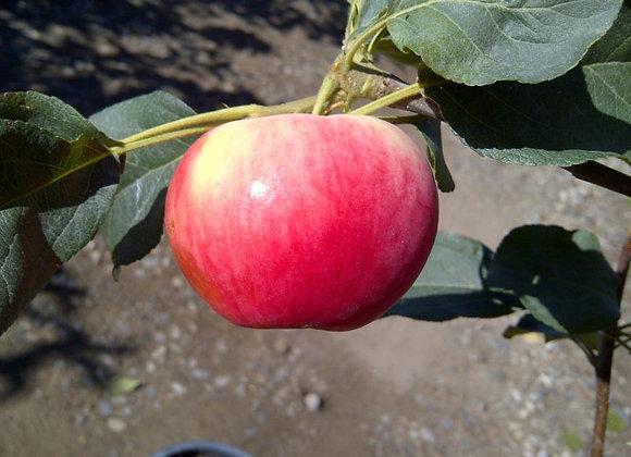 Apple - Dwarf Parkland
