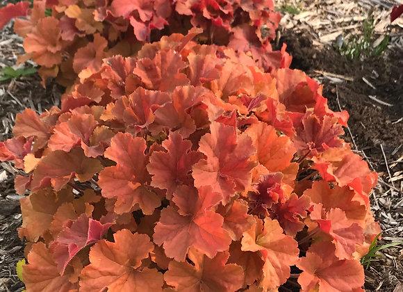 Coral Bells - Northern Exposure Amber
