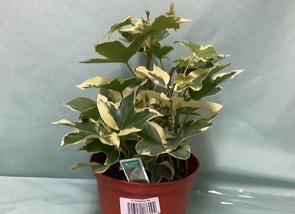 Ivy Tree - Variegated