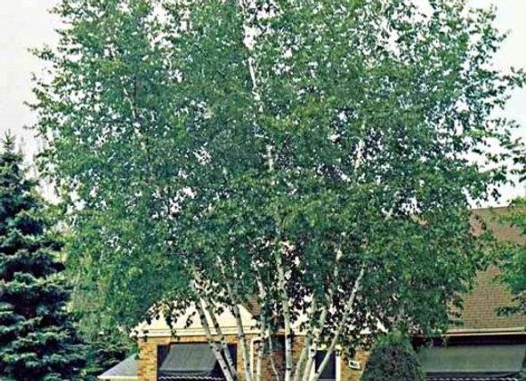 Birch - Paper Multi Clump