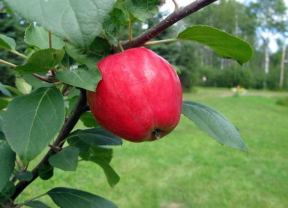 Apple - Dwarf Norland