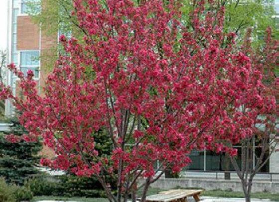Ornamental Crabapple - Radiant Flowering