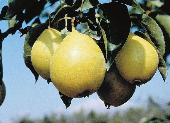 Pear - Paul's Gold