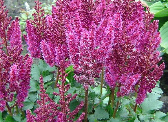 Astilbe - Purple Rain