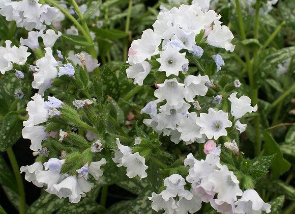 Lungwort - Sissinghurst White