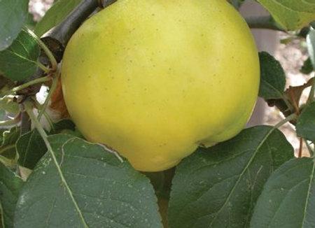 Apple - Heyer #12