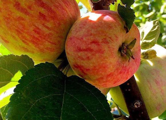 Apple - Battleford