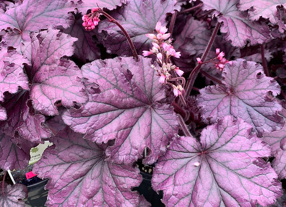 Coral Bells - Forever Purple