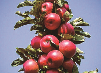 Apple - Treasured Red Columnar