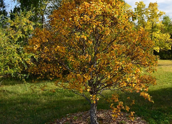 Birch - Cinnamon Curls