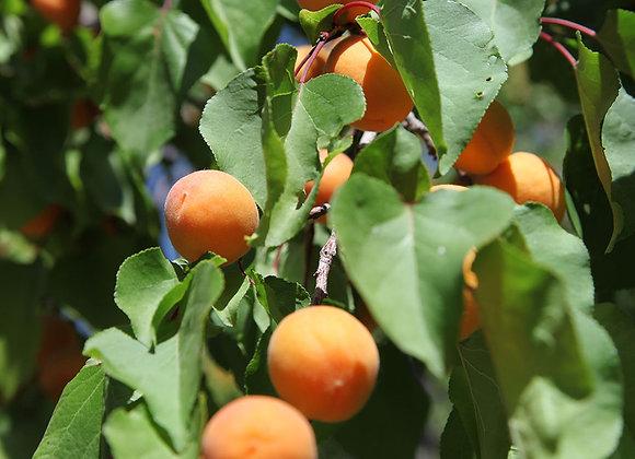 Apricot - Casino