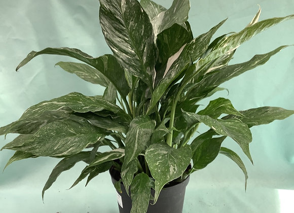 """6"""" Domino Peace Lily"""