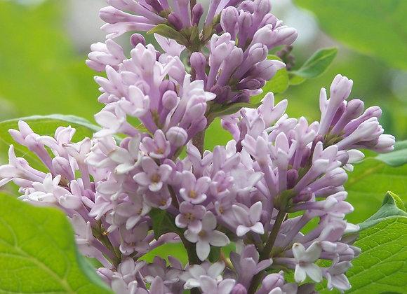 Lilac - Villosa
