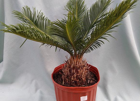"""King Sago Palm - 10""""/ 3 galon"""