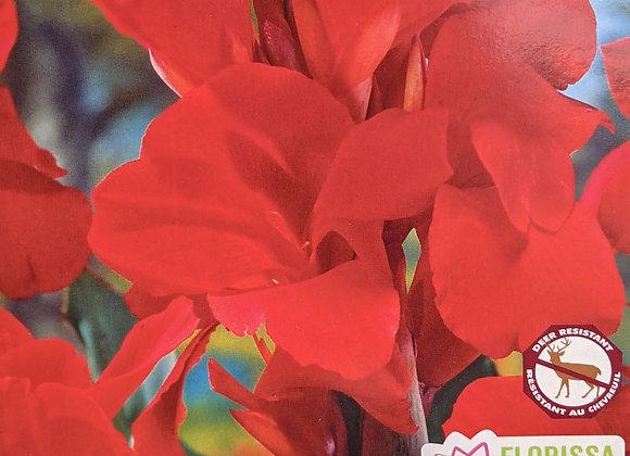 Canna Bulb - Assorted Varieties